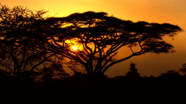 close up: sunrays penetrating foliage in big acacia tree canopy at dreamy sunset - wildlife travel stock videos and b-roll footage