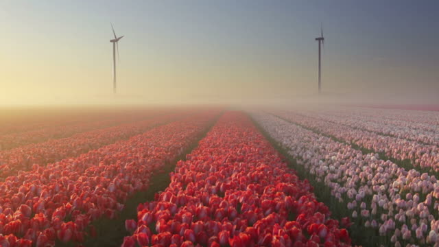 Sunrise and fog over rows of blooming tulips, The Netherlands