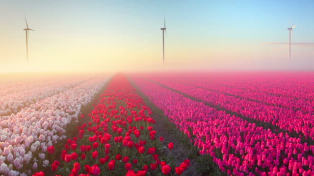 Sunrise and fog over rows of blooming tulips, The Netherlands Colourful tulips in the Netherlands, photographed at sunrise on a beautiful foggy morning. tulip stock videos & royalty-free footage