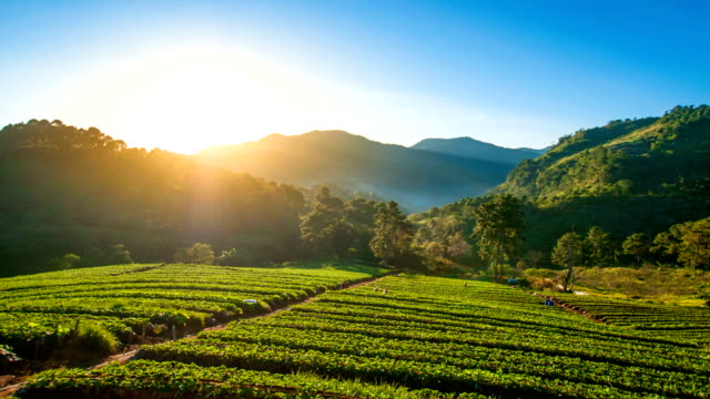 Sunrise and mist on Strawberry fields at morning at North Thailand. video