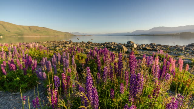 Sunrise at Lake tekapo with Lupins flower , canterbury , new zealand , Time Lapse movement video