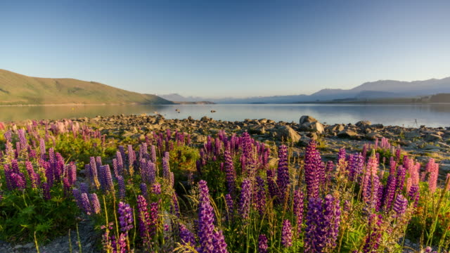Sunrise at Lake tekapo with Lupins flower , canterbury , new zealand , Time Lapse , Zoom out movement video