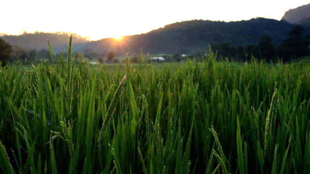 sunrise at terrace rice fields in Chiang Mai, Thailand video
