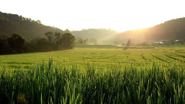 taras pól ryżowych na wschód słońca w chiang mai, tajlandia - taras ryżowy filmów i materiałów b-roll