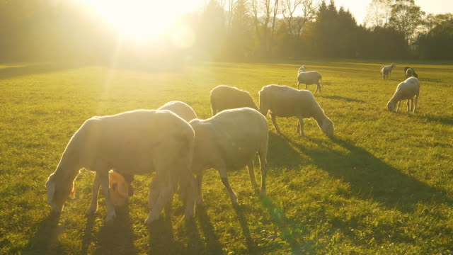 LENS FLARE: Sunrise illuminates the meadow so the cute sheep can feed on grass video