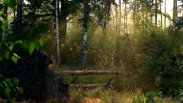 vídeos de stock, filmes e b-roll de nascer do sol na floresta - bétula