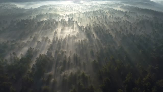 Sunrise in the misty forest. Marvelous view of flying over pine forest in the morning. There is magical fog all the way to the horizon. Aerial shot, 4K