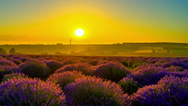 Sunrise Over A Field Of Lavender