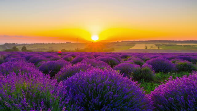 Sunrise Over A Field Of Lavender video