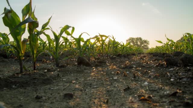 vidéos et rushes de t/l lever du soleil sur un champ de maïs jeune plantes - maïs culture