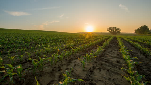 T/L Sunrise over the corn field in springtime video