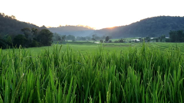 sunrise scene, terrace rice fields video
