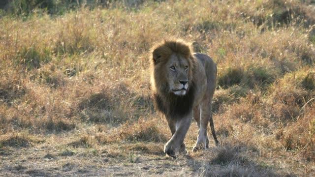 sonnenaufgang-kamerafahrt eines zurück beleuchteten männlicher löwe zu fuß in der masai mara in kenia - savanne stock-videos und b-roll-filmmaterial