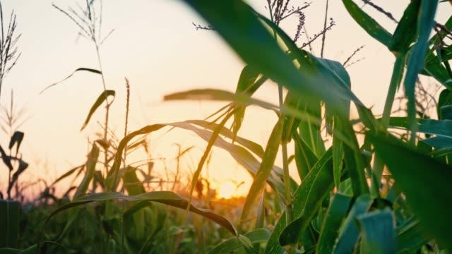 vídeos de stock e filmes b-roll de sunset at cornfield. organic food. - vídeos de milho