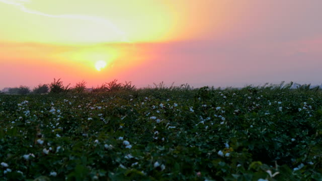 Sunset at growing White cotton field in rural countryside landscape.  Sunrise farming concept.