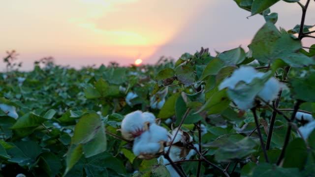 solnedgång vid växande vit bomullsfält i landsbygd landskap.  sunrise jordbruk koncept. - cotton growing bildbanksvideor och videomaterial från bakom kulisserna