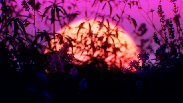 Sunset flowers (loopable) video