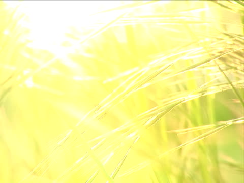 Sunset grass background - selective focus