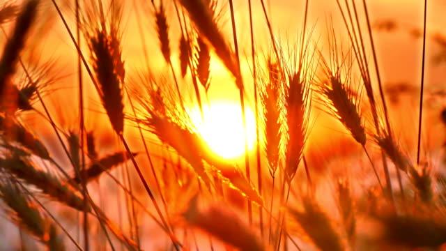 sunset grass on field 4k - summer background стоковые видео и кадры b-roll
