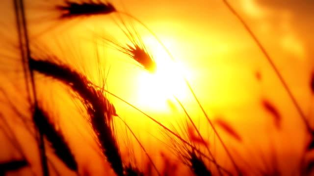 sunset grass slow motion - summer background filmów i materiałów b-roll