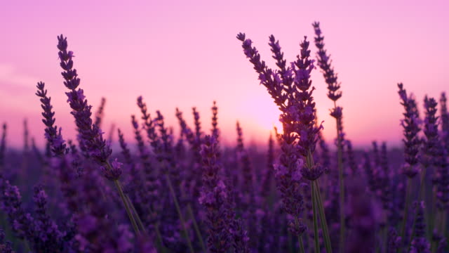 CLOSE UP: Sunset illuminates blooming fields of lavender in French countryside. video