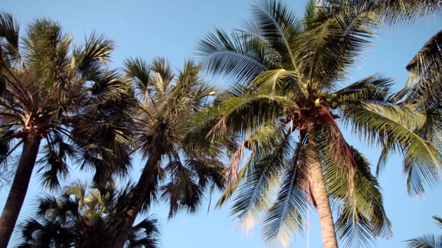 Sunset in asian park. Sun shining through green leaves of palm trees. Gentle breeze swings leaves video