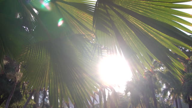 Sunset in asian park. Sun shining through green leaves of palm trees. Gentle breeze swings leaves