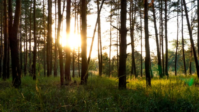 Sunset in the Forest through the Trees. Timelapse video