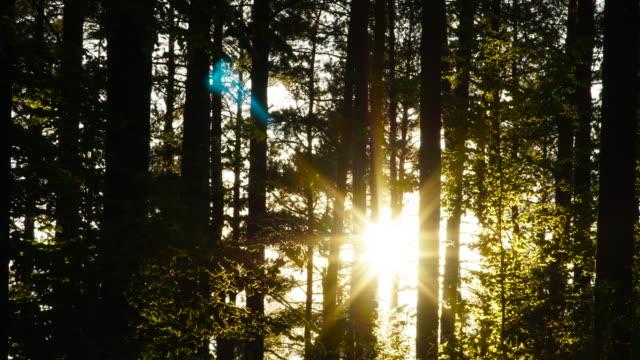 закат в лесу - хвойное дерево стоковые видео и кадры b-roll