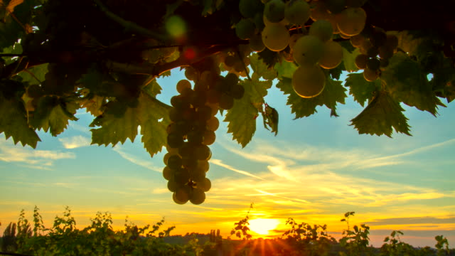 T/L Sunset In The Vineyard HD1080p: Motion Control Time Lapse shot of a sunset in the vineyard. The footage was shot in raw. Also available in 4K resolution. bunch stock videos & royalty-free footage
