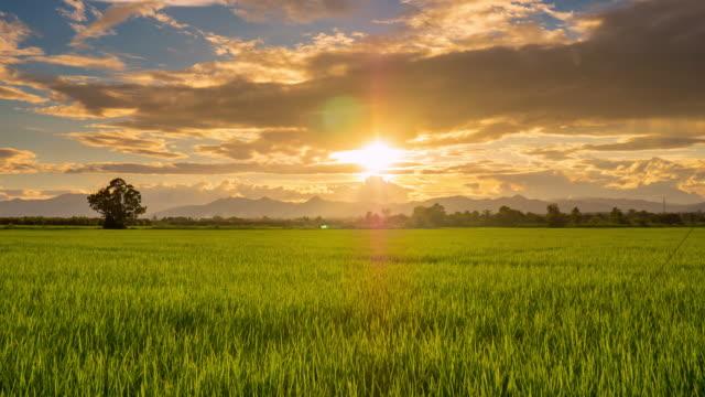 サンセットオングリーンの paddy ライスフィールド低速度撮影ます。 ビデオ