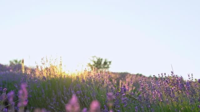 Sunset on lavender plantation