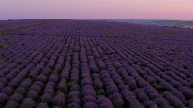 Sunset on the lavender fields in Moldova Amazing purple color of lavender fields lavender plant stock videos & royalty-free footage