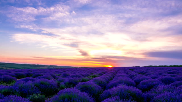 vídeos de stock e filmes b-roll de sunset over a field of lavender - violeta flor