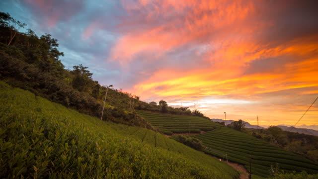 Sunset over a Japanese Green tea field video