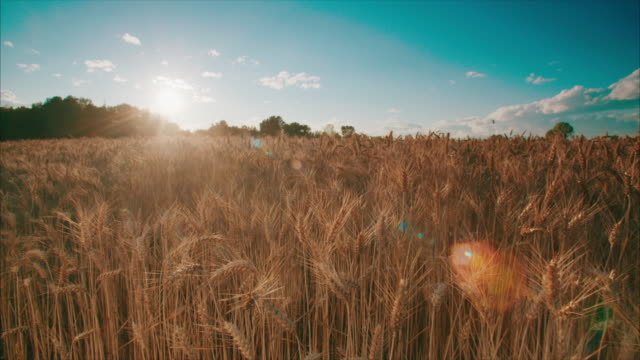 Sunset over a wheat field wheat field at sunset with tracking shot barley stock videos & royalty-free footage