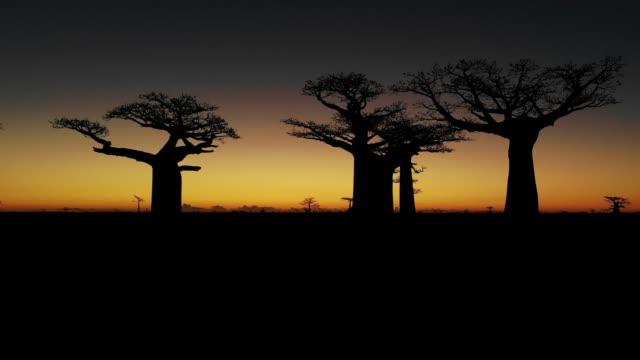sonnenuntergang über alley der baobabs, madagaskar - affenbrotbaum stock-videos und b-roll-filmmaterial