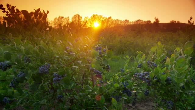 vídeos y material grabado en eventos de stock de puesta de sol sobre campo de arándanos - arándano