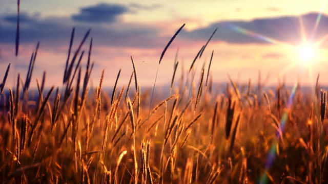 Sunset over field Sunset over wheat field. Shallow depth of field. wheat stock videos & royalty-free footage