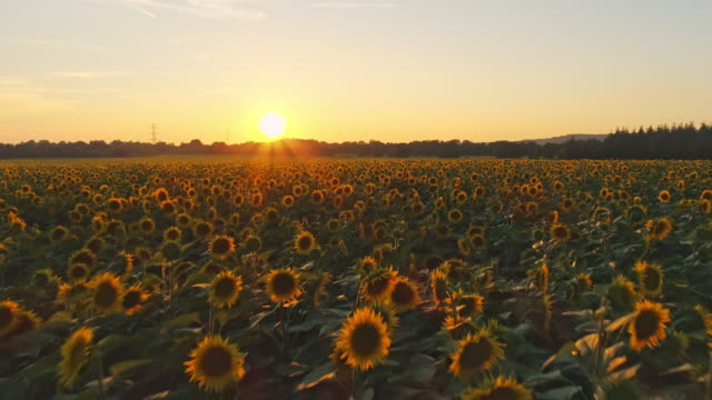 WS Sunset over idyllic,tranquil sunflowers growing in rural field,Slovenia