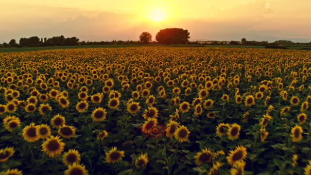 Sunset over sunflower field