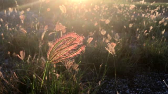 vidéos et rushes de coucher de soleil roseaux herbe fond de champ - roseau plante herbacée