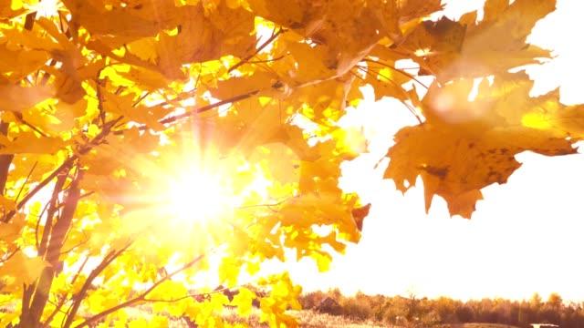 Sunset shine through vibrant yellow fall leaves
