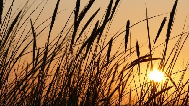 sonnenuntergang silhouetten von dünengras - schilf stock-videos und b-roll-filmmaterial