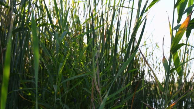 Sunset sun lens flare through green bulrush growing at lake and fluttering in wind