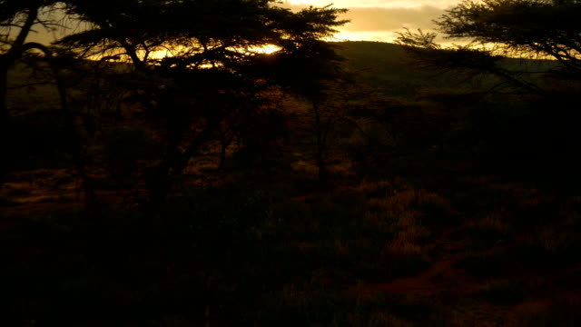 AERIAL: Sunset sun shining through acacia tree video