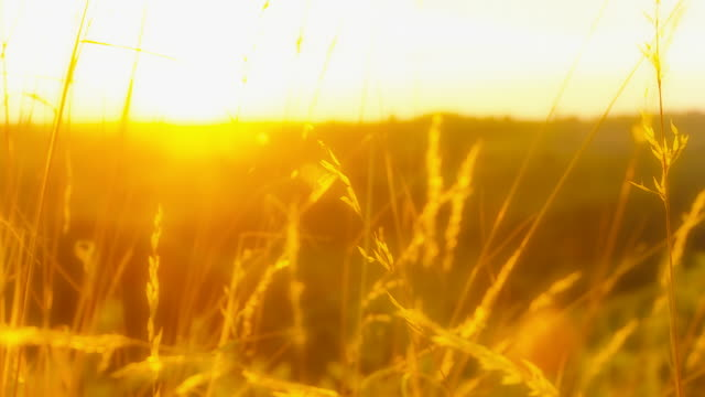 HD DOLLY: Sunset Through Blades Of Grass video