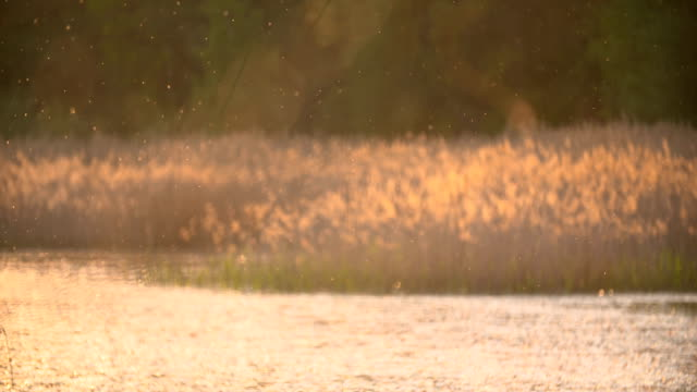 Sunset Through the Reeds. Silver feather grass swaying in wind. Sunset Through the Reeds. Silver feather grass swaying in wind. Wind blowing in the reed.  marsh stock videos & royalty-free footage