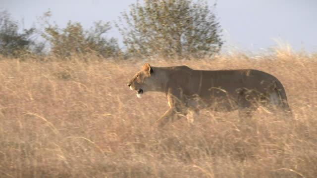 masai mara, kenya 'da uzun çim yürüyüş bir dişi aslan çekim gün batımı izleme - hayvan avlama stok videoları ve detay görüntü çekimi