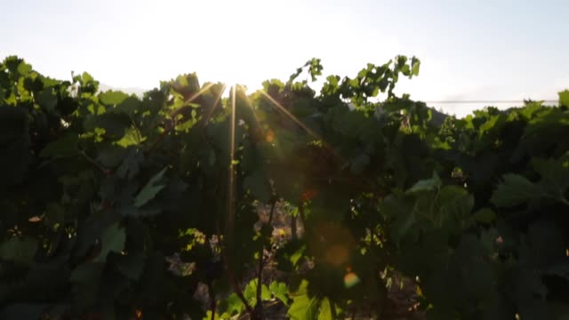 Sunshine over a Vineyard